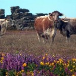 Large longhorn cattle graze on Cornish moorlands where animals of that size they have never grazed before